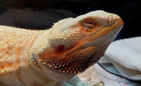 bearded dragon closing eyes while basking
