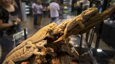 bearded dragon convention