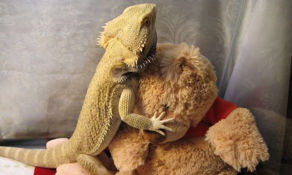 bearded dragon cuddling teddy bear