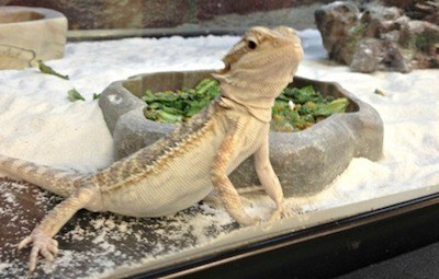 bearded dragon in tank