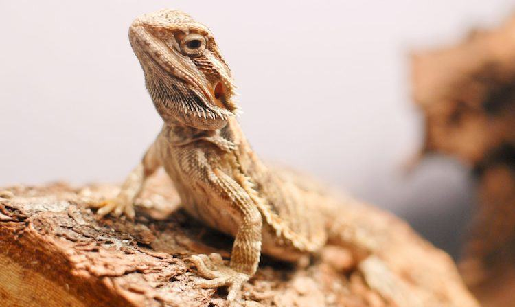 bearded dragon on wood