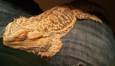 bearded dragon sleeping
