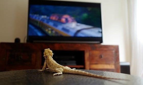 bearded dragon watching television