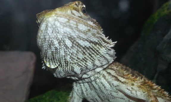 bearded dragon with stress marks