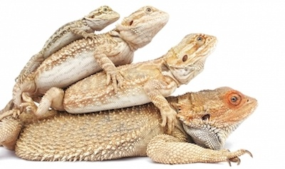 beardeded dragons stack ontop of eachother