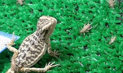 how many crickets to feed a baby bearded dragon