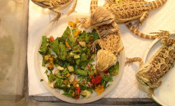 what vegetables can a bearded dragon eat