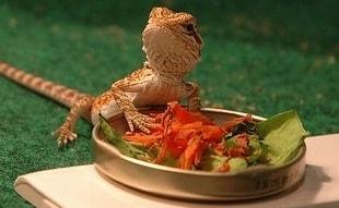 Bearded Dragon Vitamin A