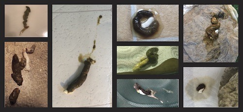 Bearded dragon healthy poop collage