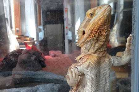 Bearded-Dragon-Glass-Surfing-Behavior