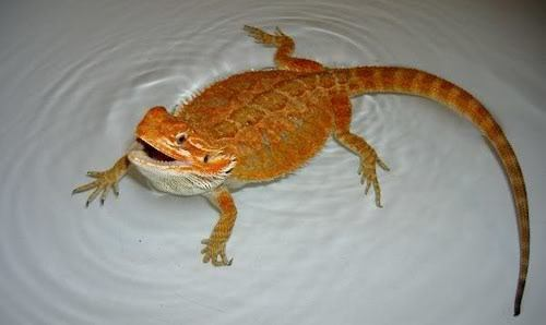 Bearded-dragon-changing-color-in-bath