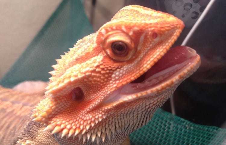 Bearded dragon respiratory infection