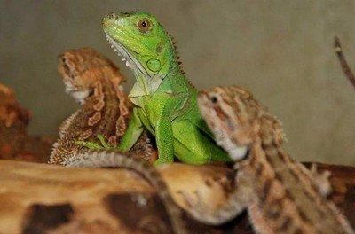 Bearded dragon vs iguana