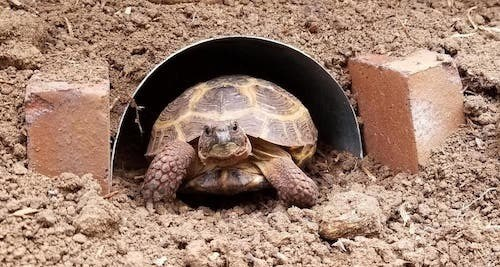 Burrowing Russian Tortoise