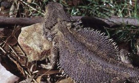 Cold-Bearded-Dragon-with-a-Dark-Body