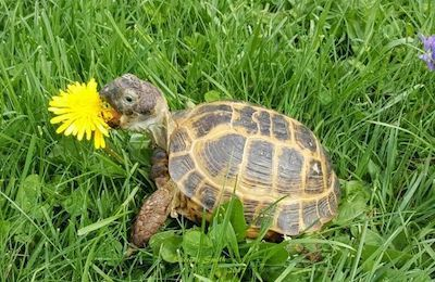 Russian Tortoise eating dandelion