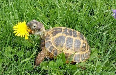 Russian Tortoise eating dandelion