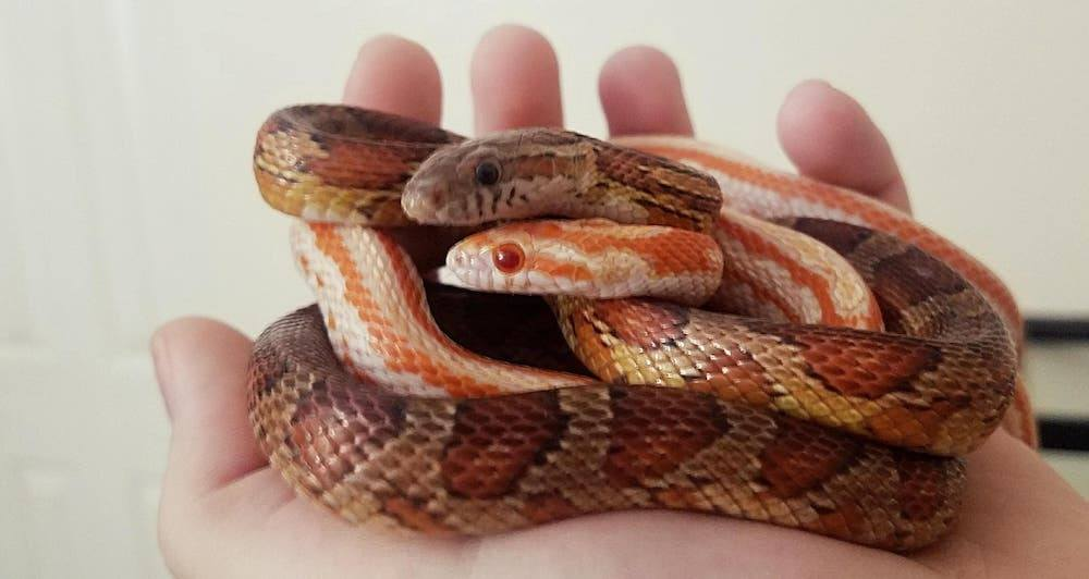 Young corn snakes