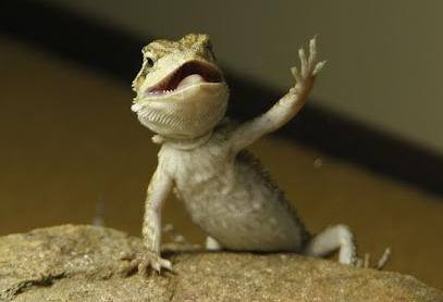 bearded-dragon-arm-waving-behavior