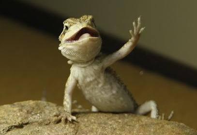 bearded-dragon-arm-waving-behavior