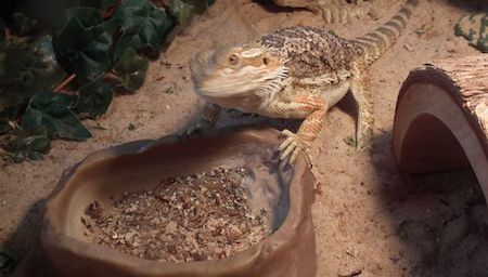 bearded-dragon-cage-setup-and-decor-ideas-12