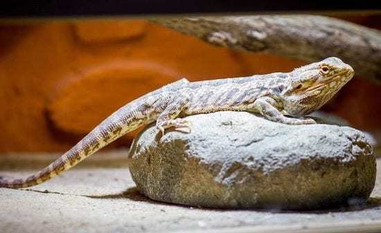 bearded-dragon-cage-setup-and-decor-ideas-9