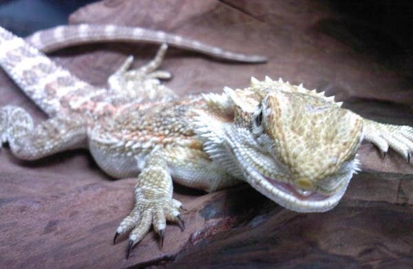 Bearded Dragon Diseases Health Issues and Illnesses