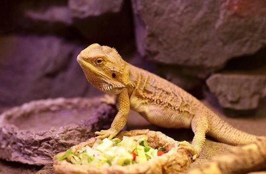 Bearded-Dragon-Throwing-Up-and-Not-Eating