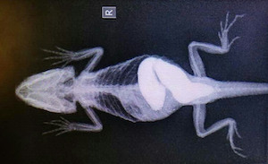 bearded dragon suffering from impaction