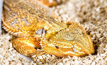 lethargic bearded dragon
