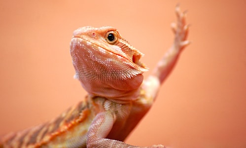 Bearded Dragon Arm Waving
