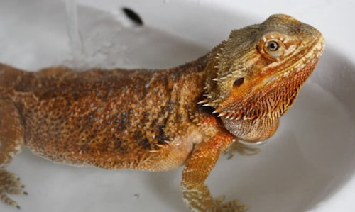 Bearded Dragon Bath