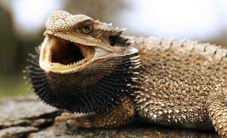 Bearded Dragon Black Beard Jpeg