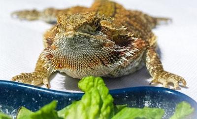 Bearded Dragon Feeding Schedule