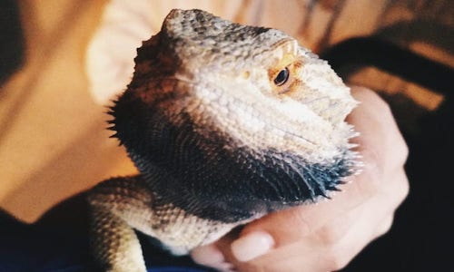 Bearded Dragon Showing Black Beard