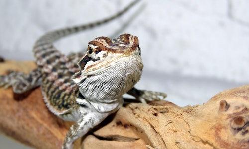 Juvenile bearded dragon diet