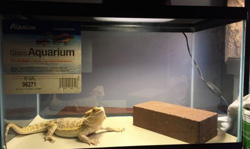 Small tank size bearded dragon