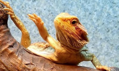 Why do bearded dragons arm wave