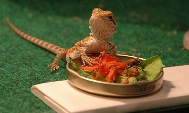 bearded dragon won't eat greens