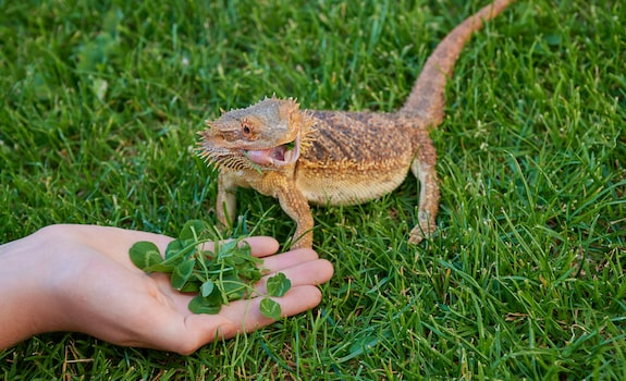 what not to feed bearded dragon