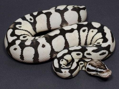 Axanthic Ball Python