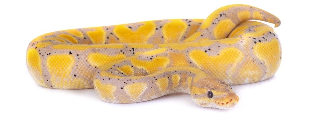 Banana Ball Python