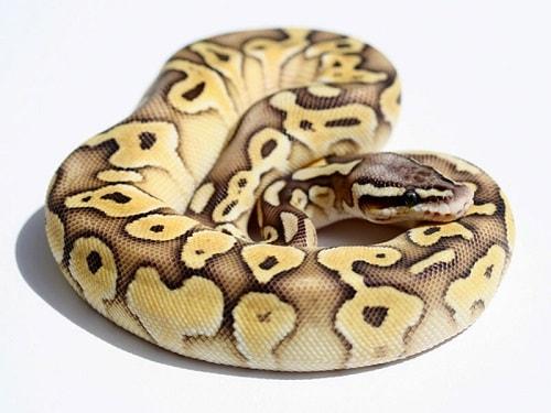 Butter Ball Python