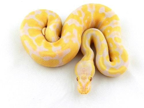 Candino Ball Python