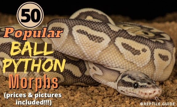 50 Most Popular Ball Python Morphs Prices Pictures Included
