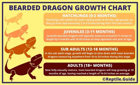 Bearded Dragon Growth Rate Chart by Age