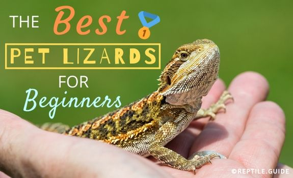 BEST PET LIZARDS
