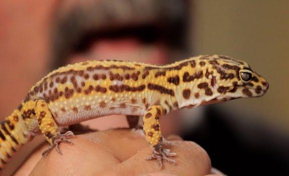 Best pet lizard for beginners leopard gecko
