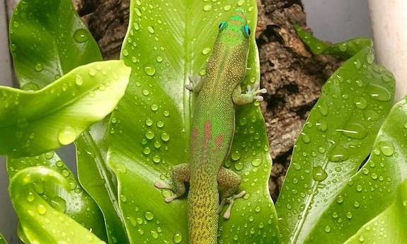 Gold Dust Day Gecko Cons