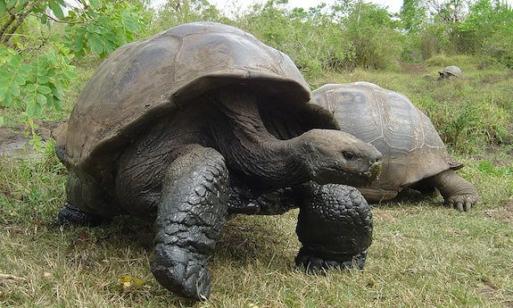 Most intelligent reptiles giant tortoise